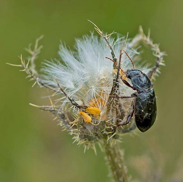 Pterostichus madidus.