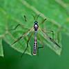 Ptychoptera contaminata (Male)