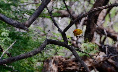 I also startled many birds, but this lovely Saffron Finch allowed me several shots before taking to the skies.