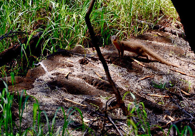 I startled a pair of mongooses. This one posed for a picture before joining his more timid friend in the undergrowth.