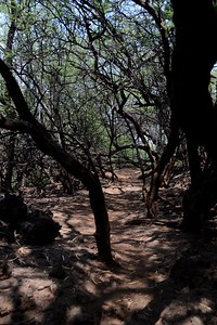 Trail through the Kiawe Grove