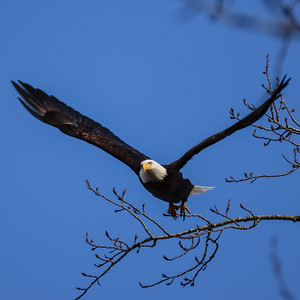 3 - Bald Eagle taking flight in Steigerwald Wildlife Refuge.