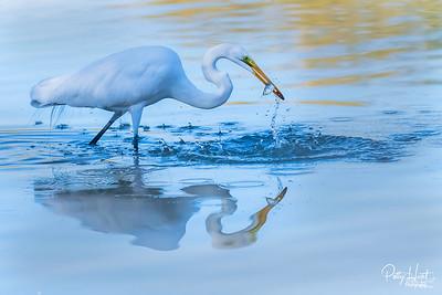 Gilbert Water Riparian Birds and Beyond