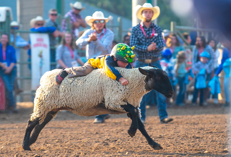 Levi Weston participates in the mutton busting at the Ogden Pioneer Days at Pioneer Stadium on Saturday July 25, 2021.