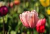 Tulip Fest 2013-024