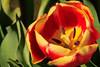 Tulip Fest 2013-032