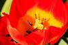 Tulip Fest 2013-015