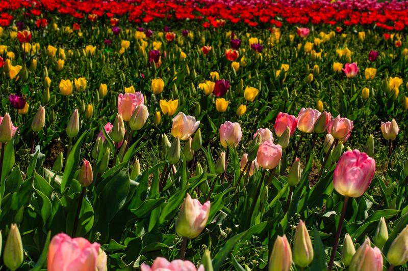 Tulip Fest 2013-192