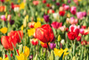 Tulip Fest 2013-023