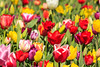 Tulip Fest 2013-025