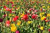 Tulip Fest 2013-022