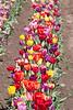 Tulip Fest 2013-019