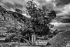 A Weary Tree