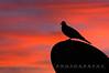 Dawn Dove