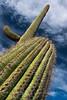 Tilted Saguaro