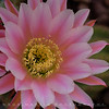 Saguaro Cactus Flower