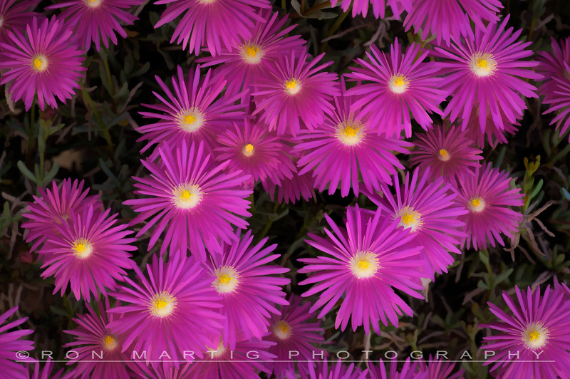 Purple Ice Plant 2