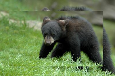 dsc_7474 baby bear 1