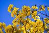 20130916-flores-ipe-amarelo-1415-alta