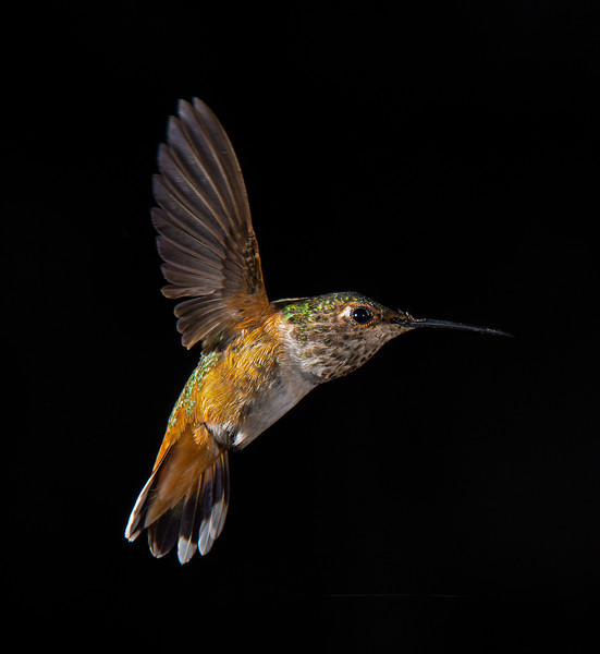 Hummingbird Frozen In Time