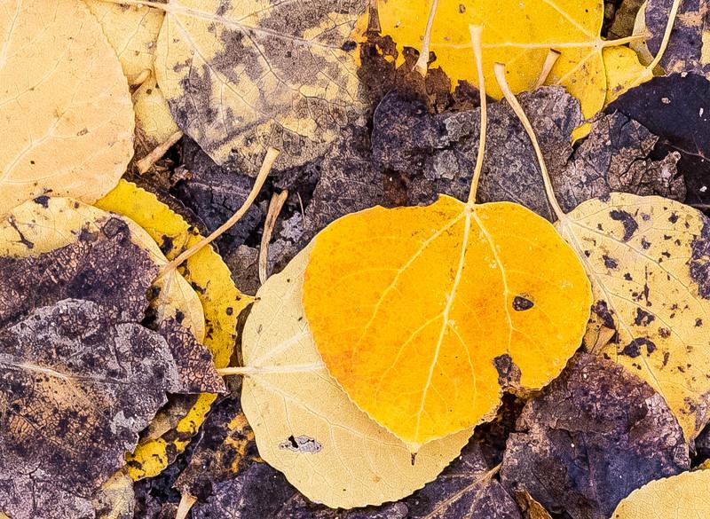 Leaf Details In Tuolumne Meadows