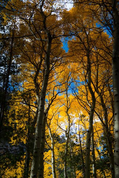 Golden Tree Canopy