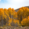 Aspens at Mono Lake