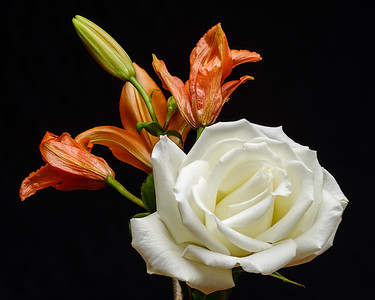 Rose Lily Focus Stack