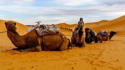 Camel Roar
