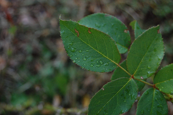 Raindrops on rose leaves