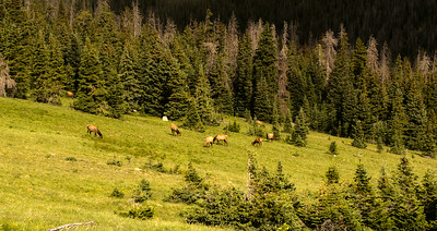 Elk in High Pastures