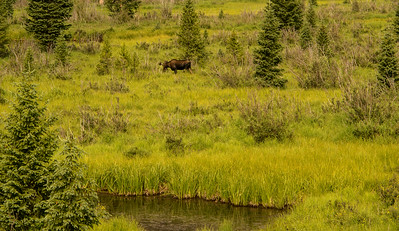 Moose in Rocky Mountain NP