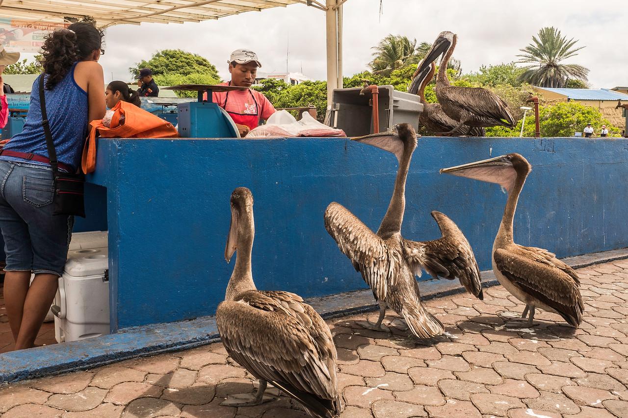 Pelicans_Ordering_Lunch