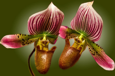 Pirate_Orchids-Green_BG