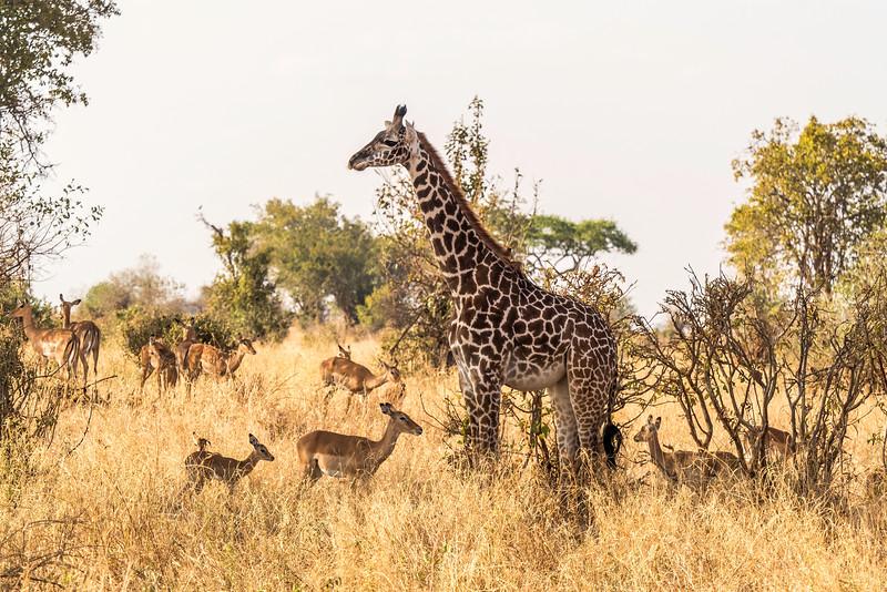 Tanzania-Giraffes&Antelope