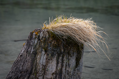 Stump - Portage Creek, Alaska