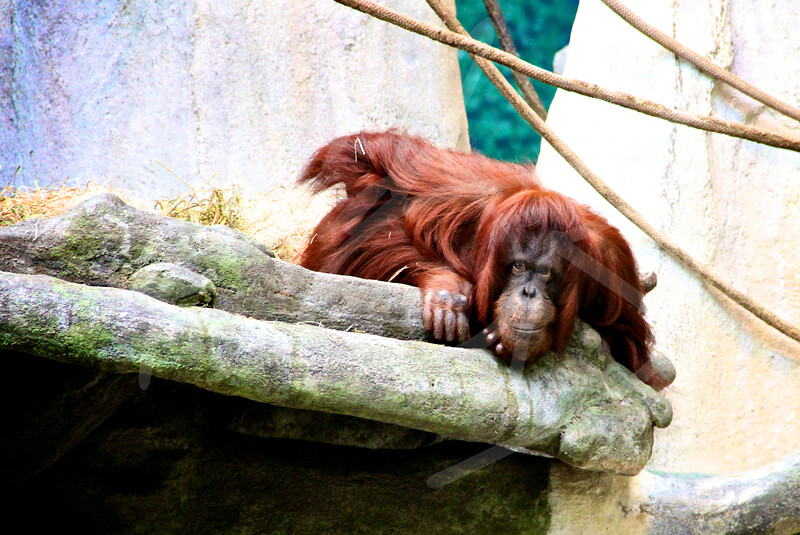 The Curious Orangutan