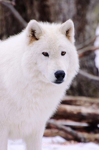 Polar Wolf at Lakota Wolf Preserve in Colombia, New Jersey