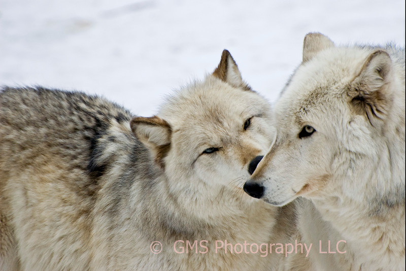 Affectionate Wolves #2
