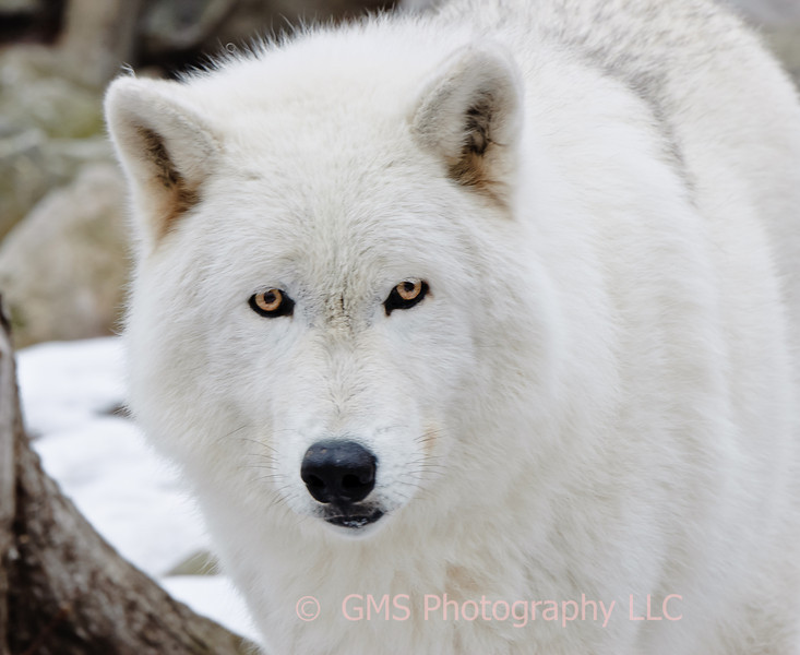 Polar wolf stares into camera at Lakota Wolf Preserve in Colombia, New Jersey