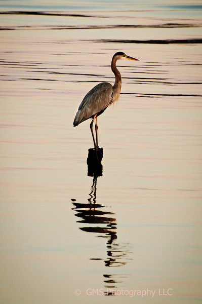 Heron enjoys sunrise at horbor in Keyport, New Jersey