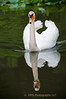 Swan in Lake - Stevenson Park, Middletown, New Jersey