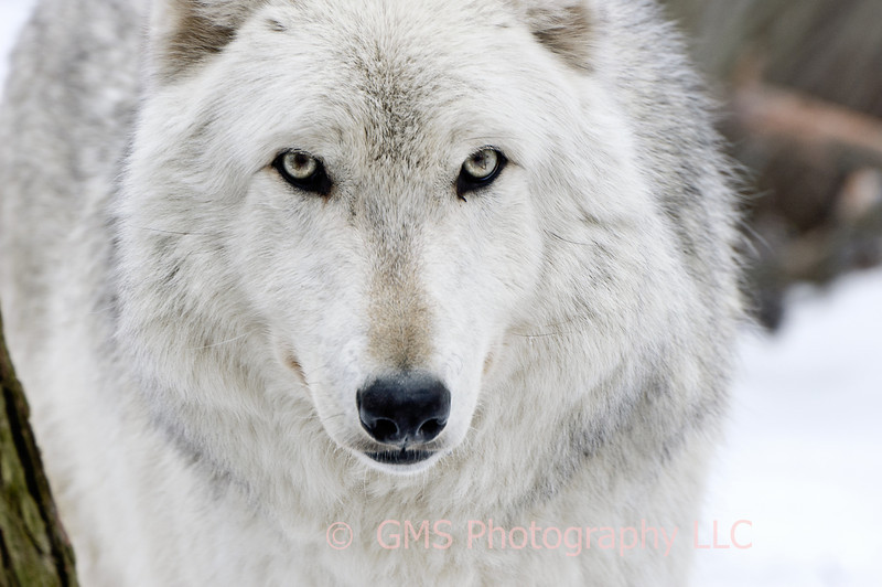 An inquisitive look by wolf at Lakota Wolf Preserve, Colombia, New Jersey