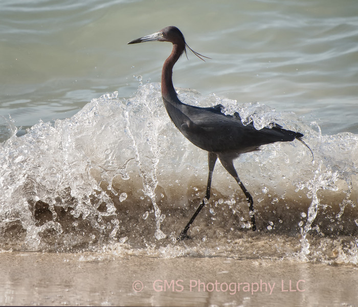 A heron get's hit by a small wave while walking along the surf in Whitehouse Jamaica.