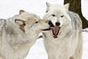 Flirting Wolves