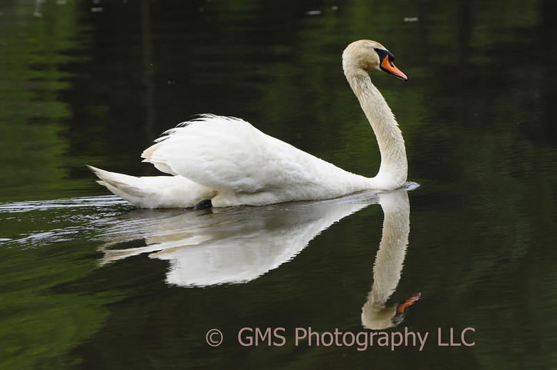 A swan moves quietly allong the lake with a reflection in the calm waters at Stevenson Park in Middletown New Jersey.