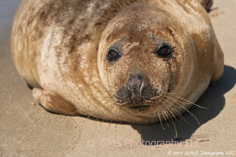 This seal was sunning on the beach at Sandy Hook, New Jersey today, March 25,2011