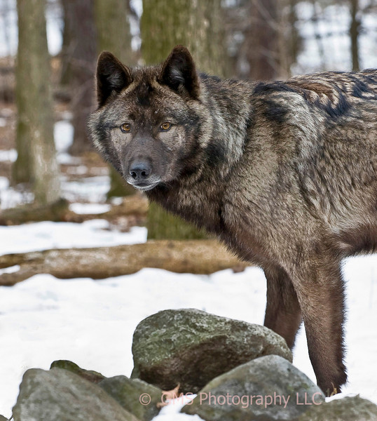 Wolf in woods at Lakota Wolf Preserve in Colombia, New Jersey