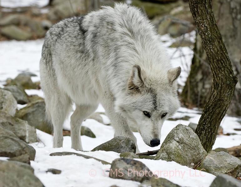 Wolf searching at Lakota Wolf Preserve, Colombia, New Jersey