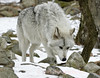 Wolf searching at Lakota Wolf Preserve, Colombia, New Jersey